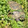 The greek tortoise