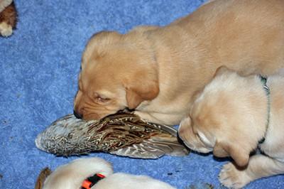 Pheasant Wings & Puppies