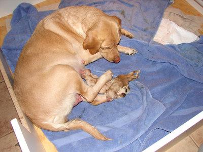 Tasha x Cash Puppies 2007