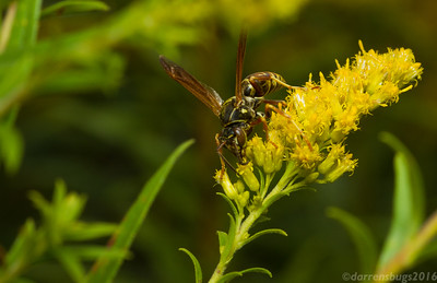 Northern Paper Wasp, Polistes fuscatus, on goldenrod (Iowa, USA). Recent research suggests that this species possesses facial recognition abilities that may even rival our own! Because facial coloration varies so widely between individuals in this species, they seem to have developed a mechanism for recognizing members of their own nest and distinguishing them from rivals.
