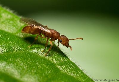 Winged queen ant, Acanthoponera minor (Heteroponerinae), from Belize.
