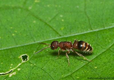 Myrmosid ant (Myrmosidae, genus Myrmosa) from Iowa, USA.