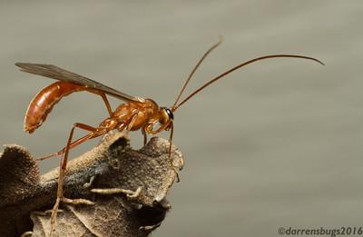 Ichneumon Wasp, family Ichneumonidae (possibly Enicospilus purgatus), at my porch light (Iowa, USA).