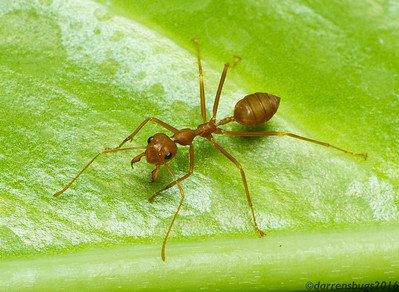 Weaver Ant, Oecophylla smaragdina, from Chiang Mai, Thailand). These handsome ants use their powerful mandibles and long legs to fold leaves, which are then glued together with the silk from their larvae to make their arboreal nests.
