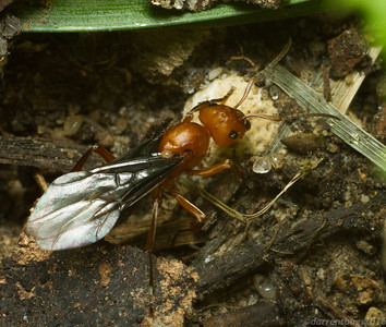 Winged queen ant, probably Formica rubicunda, from Iowa, USA.