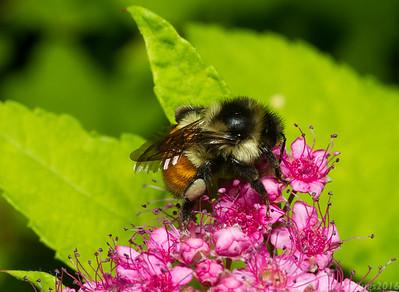 Tricolored Bumble Bee, Bombus ternarius (Wisconsin, USA).