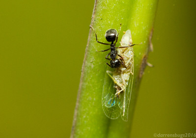A foraging worker ant, genus Dolichoderus, scavenges a dead planthopper (possibly family Dictyopharidae) in Chiang Mai, Thailand.