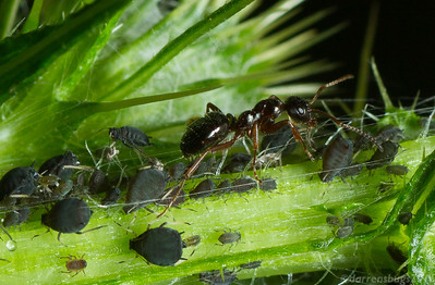 Thistle-feeding aphids, genus Aphis, being tended by Formica neogagates in Wisconsin, USA.