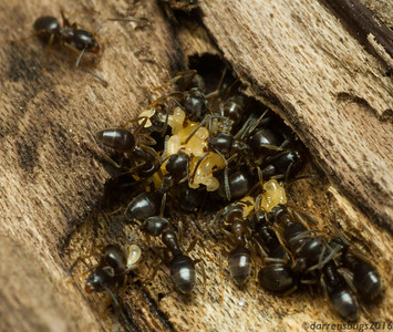 Odorous house ants, Tapinoma sessile, react to my incursion into their nursery by rapidly relocating their eggs. (Iowa, USA)
