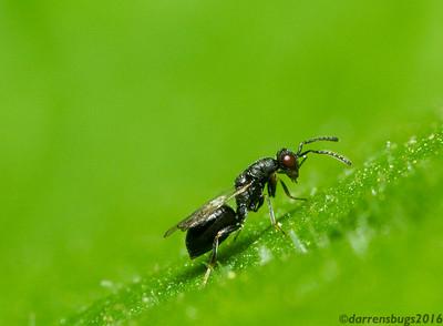 Chalcoid wasp, superfamily Chalcidoidea, from Iowa, USA.