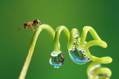 Ant and Drops   by Bruno SUIGNARD