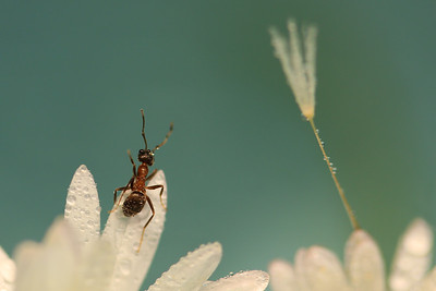 Ant ,Drops and achenes  by Bruno SUIGNARD