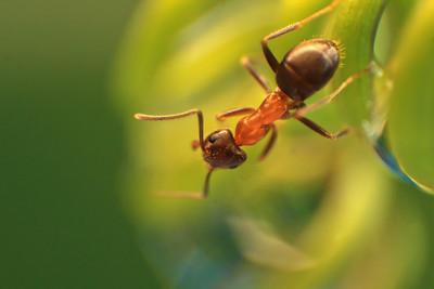 Fourmi  -  Ant   by Bruno SUIGNARD