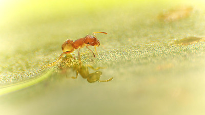 Ant and his Reflection