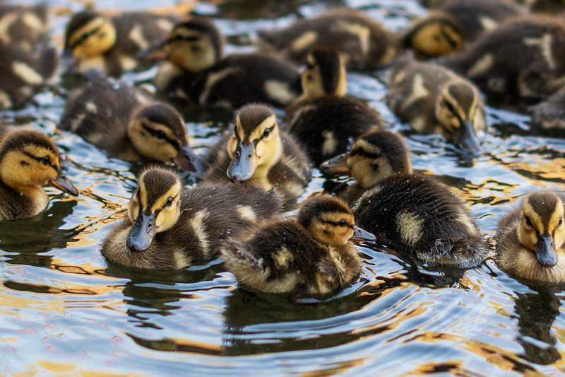 Mallard ducklings at the Rancho Esquon Egg Salvage Hatchery in Durham CA.