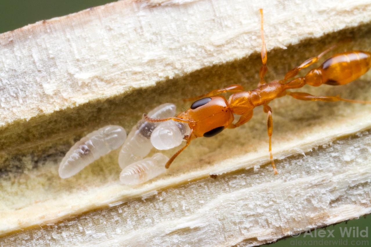 Cutting open a hollow twig reveals a small nest of Pseudomyrmex simplex.  Monte Verde, Minas Gerais, Brazil