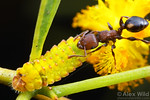 Podomyrma adelaidae tends to a Lycaenid caterpillar.  These caterpillars secrete substances that the ants find attractive, and the ants in turn provide protection from parasites.  Poochera,  ...
