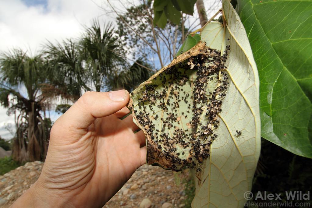 Peeling back a leaf reveals a colony of Camponotus weaver ants.  Misahuallí, Napo, Ecuador