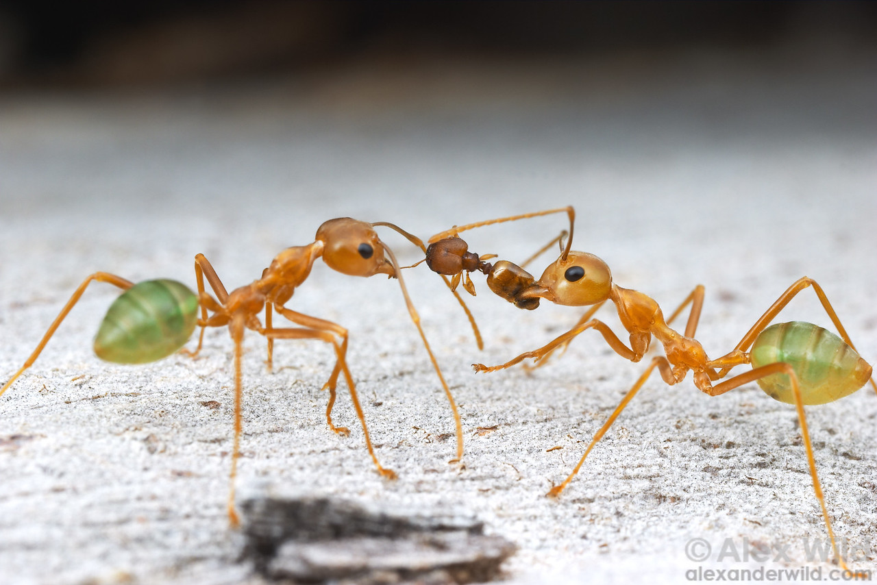 Green tree ants (Oecophylla smaragdina) dismantle a Pheidole that wandered into their territory.  Cape York Peninsula, Queenland, Australia