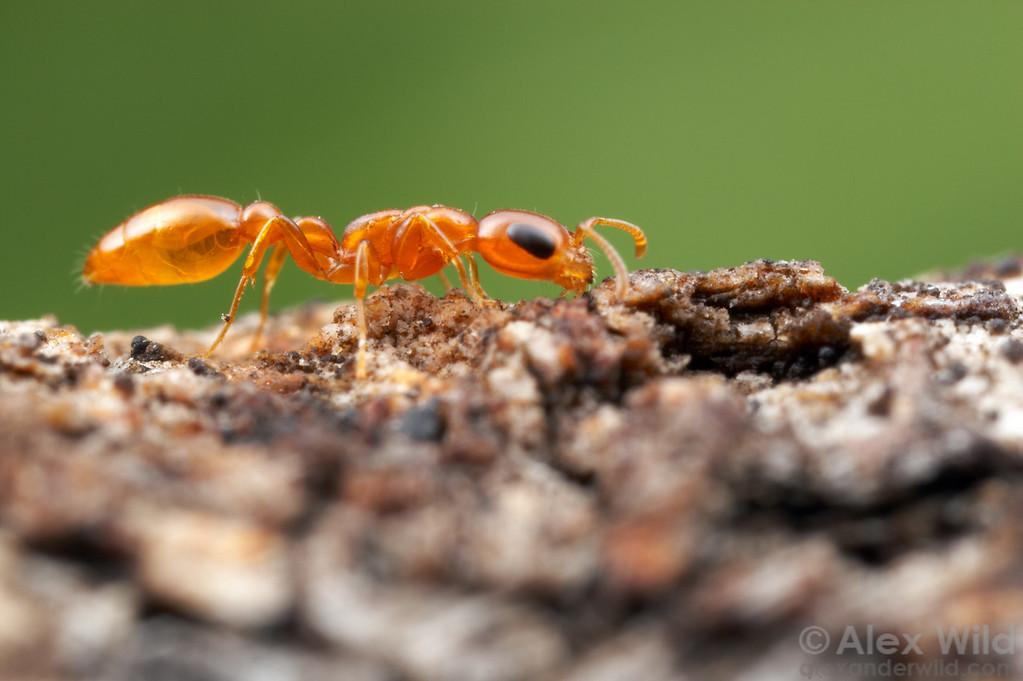 Pseudomyrmex pallidus  Tucson, Arizona, USA