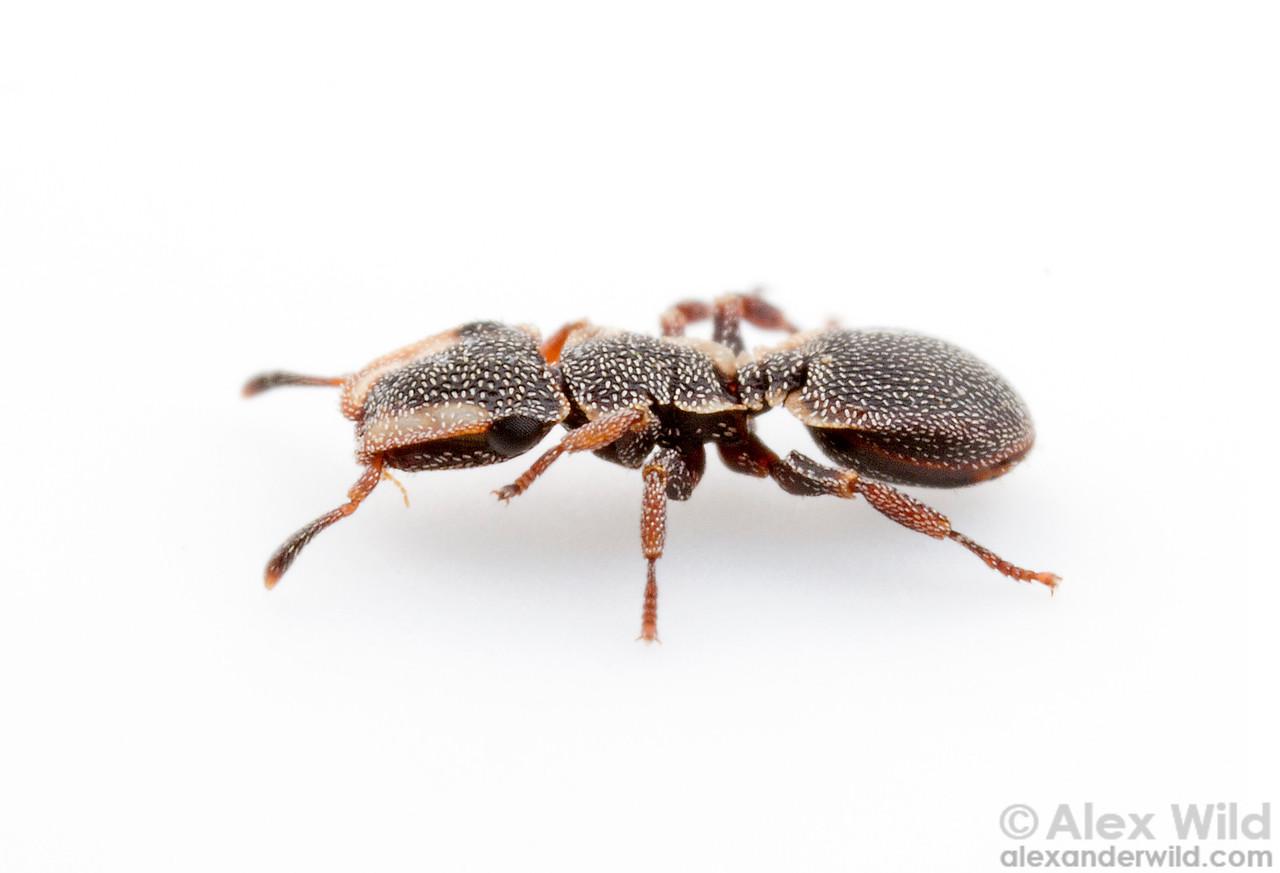 Cephalotes maculatus is among the smallest species of turtle ant.  Viçosa, Minas Gerais, Brazil