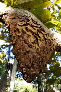 The carton nest of an Azteca trigona -complex species hangs from a tree branch.  Gamboa, Panama