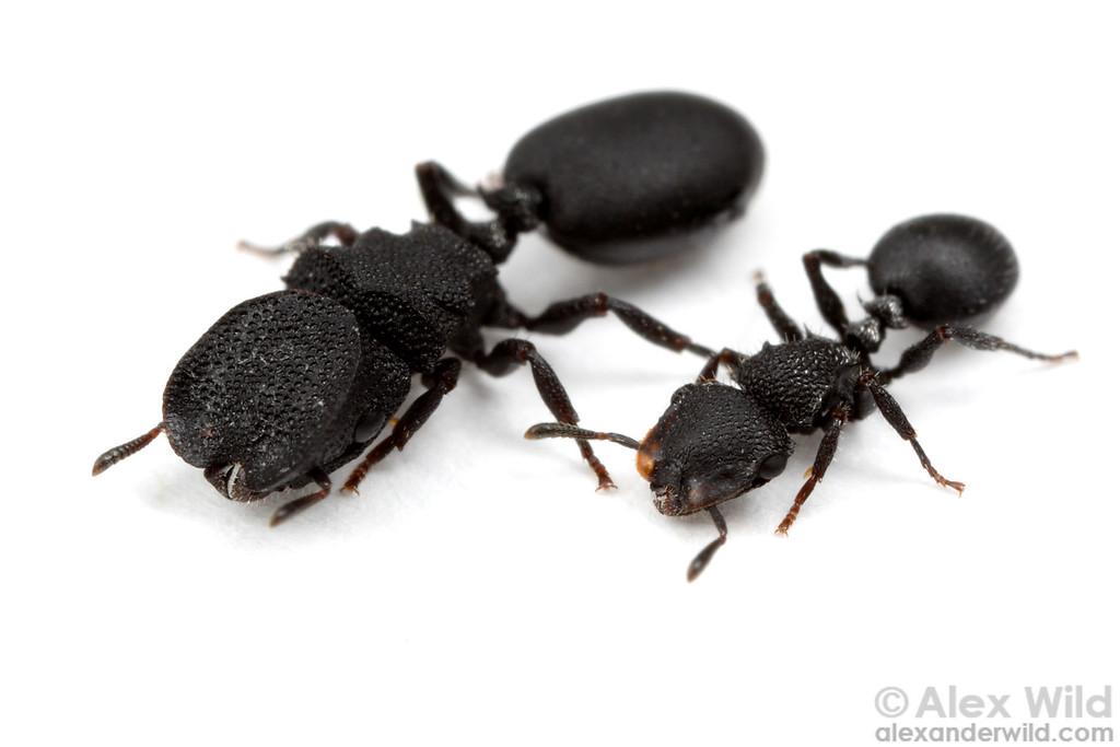 Major and minor workers of Cephalotes rohweri, the Arizona turtle ant.   Tucson, Arizona, USA