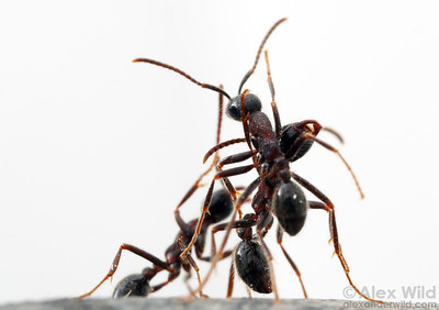 Neivamyrmex melanocephalus army ants initiating a live-ant bridge with their own bodies.  Here two ants lean against each other while a third starts to climb.  Sycamore Canyon, Arizona, USA