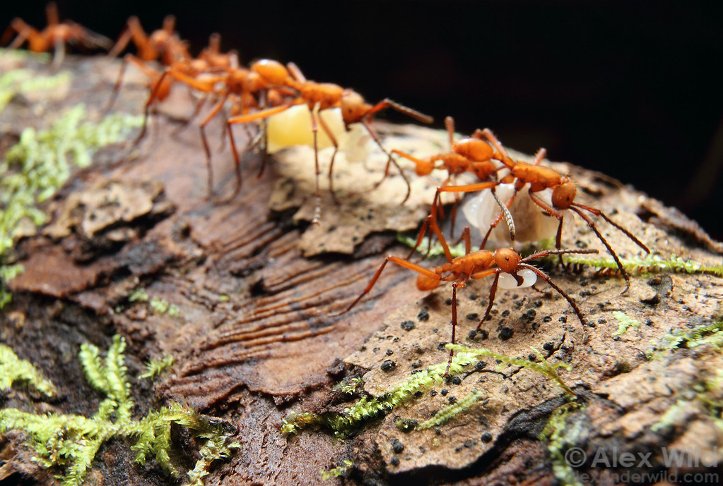 Eciton hamatum preys on the brood of other social insects. Here, workers carry captured ant and wasp larvae back to their bivouac.  Jatun Sacha reserve, Napo, Ecuador
