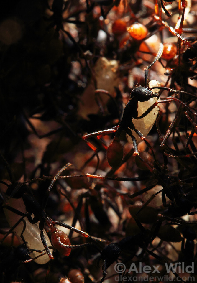 Inside the dark confines of a statary bivouac, worker Eciton burchellii army ants carry larvae.  Maquipucuna reserve, Pichincha, Ecuador