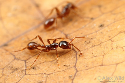 A trail of Asian army ants (Aenictus laeviceps).  Danum Valley Field Centre, Sabah Borneo