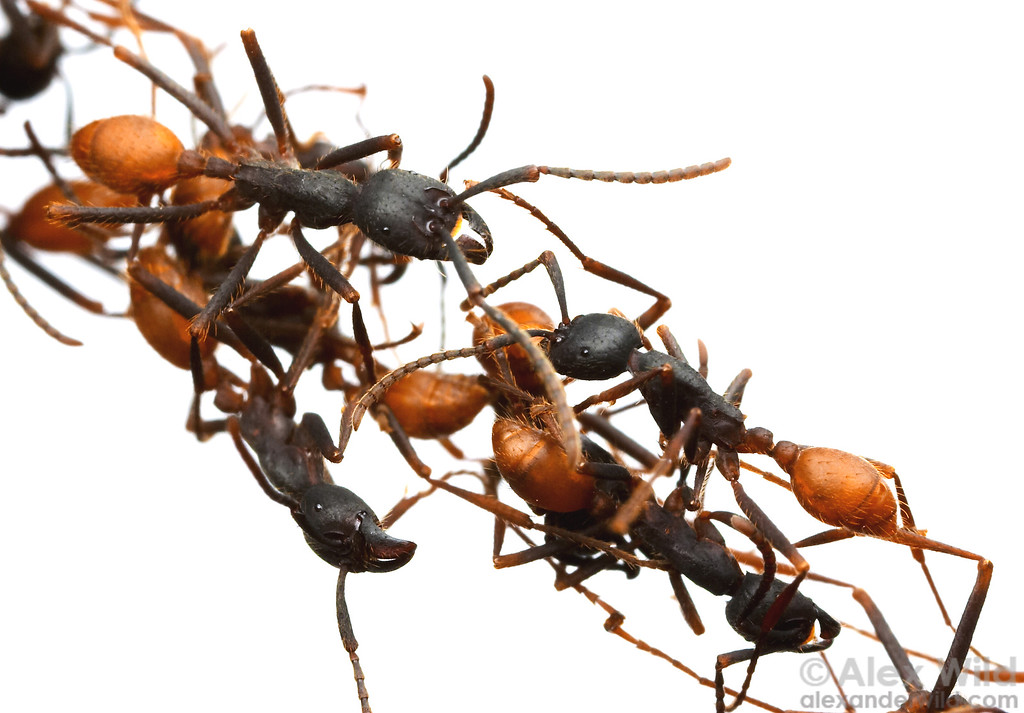 Eciton burchelli army ants can form living bridges with their bodies.    Captive colony at the California Academy of Sciences