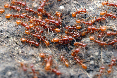 Army ants on the march.  This species, Neivamyrmex californicus, is endemic to California and Baja California.   Jasper Ridge, California, USA