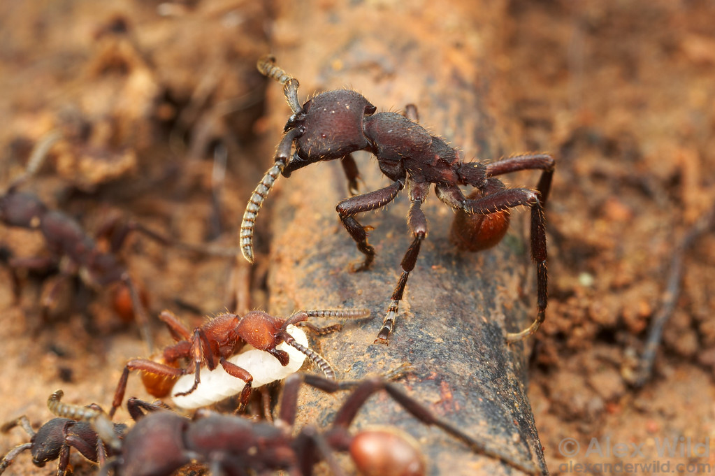 Army ant colonies typically contain workers of many sizes, each specialized for a different task.  Here a Nomamyrmex esenbeckii worker stands guard over a passing column.   Gamboa, Panama