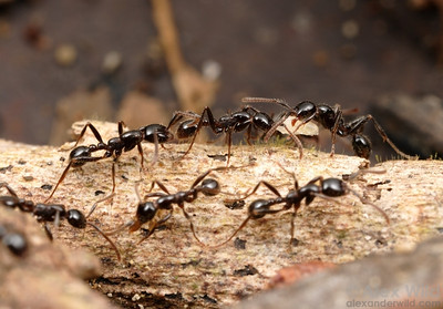 Neivamyrmex pilosus is among the more commonly encountered of the Neotropical army ants.  Like most Neivamyrmex species, they are specialist predators on other ants.  However, this species is unusual in its preference for arboreal (or tree-nesting) ants.  I observed this colony taking Azteca, Crematogaster, and Brachymyrmex.   Gamboa, Panama