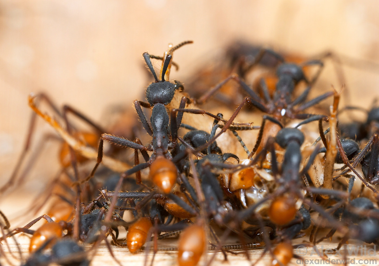 Eciton burchellii army ants cluster around a cricket they have caught.    Captive colony at the California Academy of Sciences