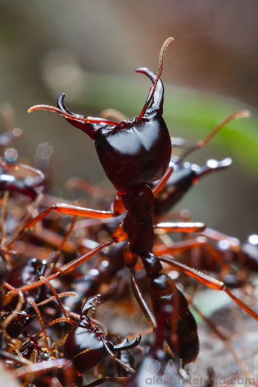 Driver ants (Dorylus subgenus Anomma) are among Africa's most visible insects. Here, a soldier stands guard along a foraging trail.  Kibale Forest, Uganda
