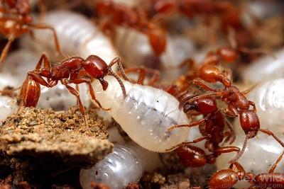 Neivamyrmex army ants are specialist predators of the brood of other ant species. Here, N. californicus raid the brood nest of the pavement ant Tetramorium caespitum.   California, USA