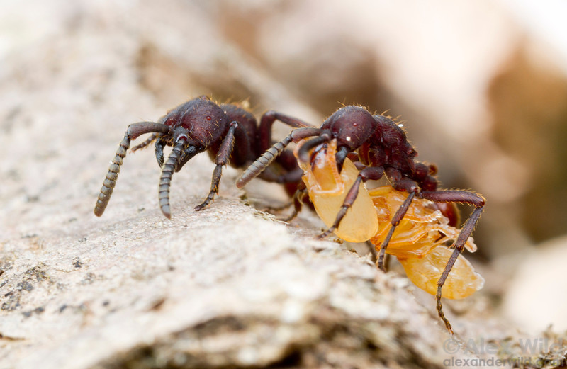 Nomamyrmex esenbeckii workers carrying a massive Pheidole pupa they have taken in a successful raid.  Monte Verde, Minas Gerais, Brazil
