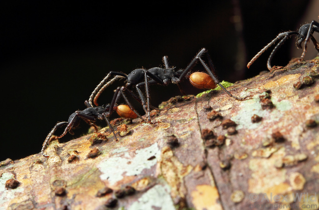 Eciton rapax  Jatun Sacha reserve, Napo, Ecuador