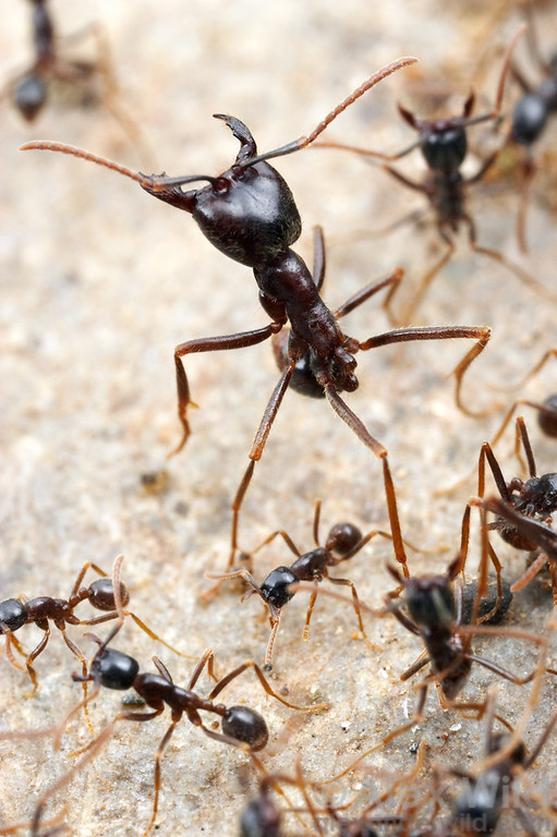 Labidus praedator.  Army ant workers vary considerably in size.  Gamboa, Panama