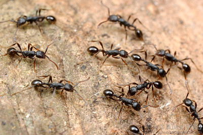 A raid of Aenictus aratus in an Australian rain forest.  Cape Tribulation, Queensland, Australia