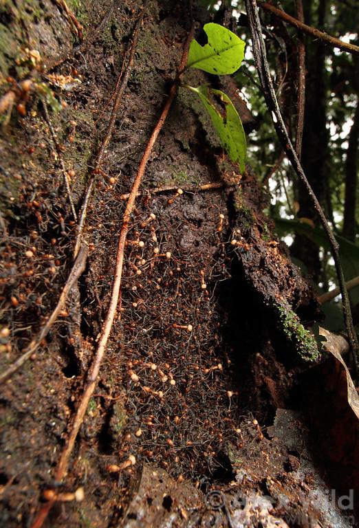 An Eciton burchellii statary bivouac protrudes from a rotting stump.  Maquipucuna reserve, Pichincha, Ecuador