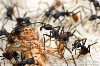 Army ants such as these Eciton burchellii are important predators in many tropical ecosystems.   Captive colony at the California Academy of Sciences
