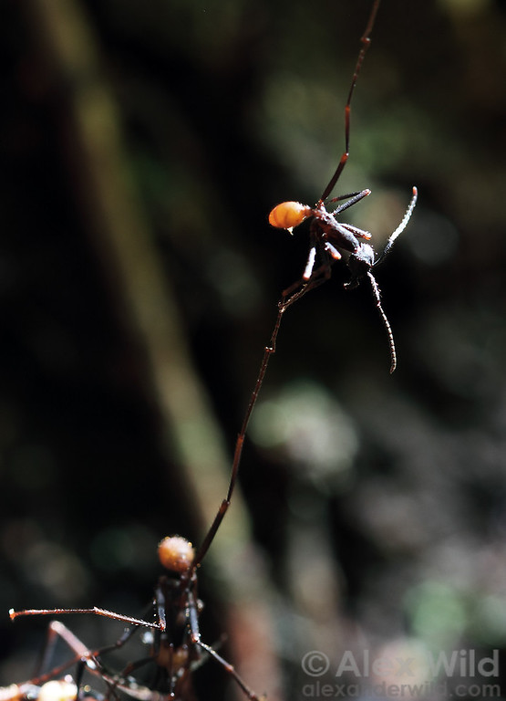 Eciton burchellii workers form a living chain at the edge of a bivouac. Claws at the tips of the ants' feet allow them to link together.  Maquipucuna reserve, Pichincha, Ecuador