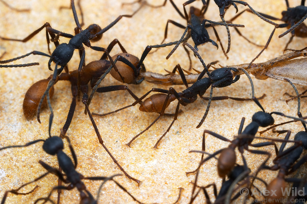 Army ants such as these Eciton are important predators in many tropical ecosystems.  Colonies have worker ants of different sizes that specialize in different tasks.    Captive colony at the California Academy of Sciences