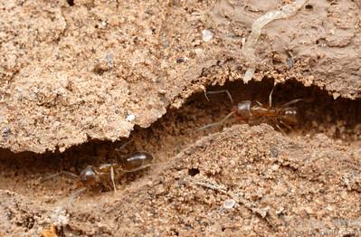 Linepithema micans running through tunnels in their underground nest.  Tafí del Valle, Tucumán, Argentina
