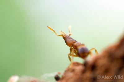 Strumigenys zeteki, foraging worker.  Viçosa, Minas Gerais, Brazil