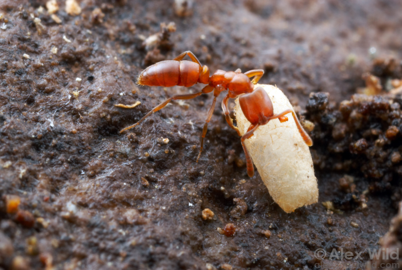 Hypoponera opacior worker with pupa.  Chiricahua Mountains, Arizona, USA