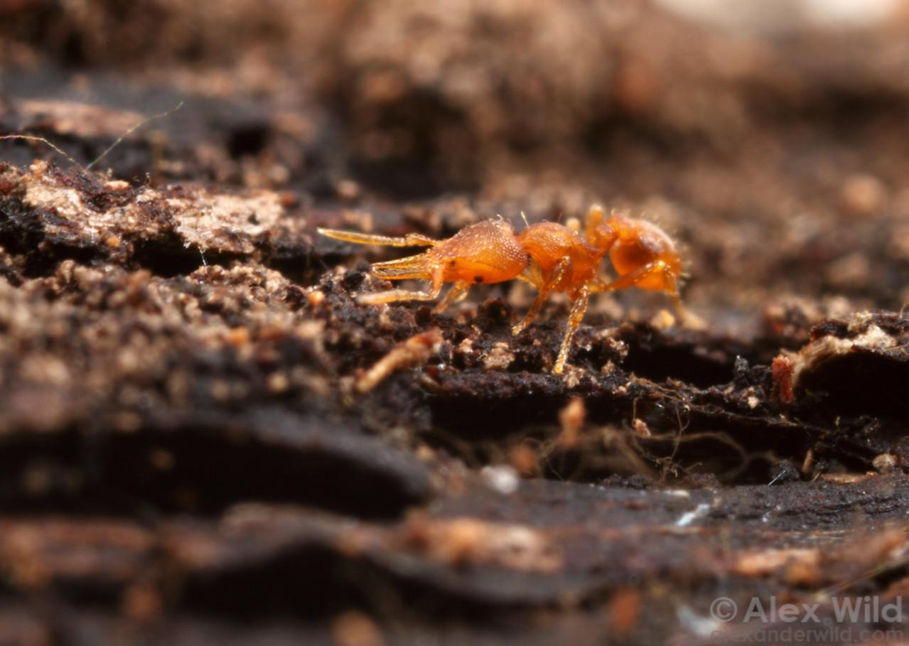 Strumigenys eggersi worker foraging through the leaf litter.  Archbold Biological Station, Florida, USA